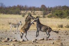 在克鲁格国家公园,南非抱怨斑马 图库摄影