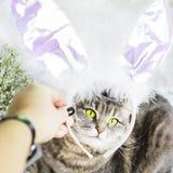 在兔子服装的一只猫 复活节 图库摄影