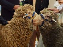 在党的绵羊 免版税库存照片