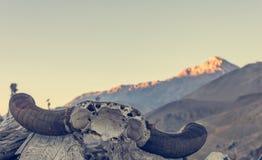 在入口的牦牛头骨对野马地区 库存图片