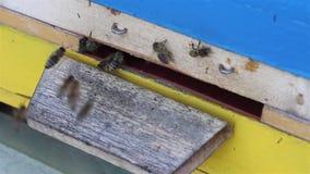 在入口的蜂对蜂房 影视素材