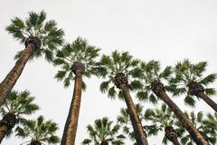 在入口附近的高棕榈树对雅典国立公园 库存照片