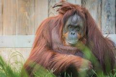 在全国动物园的猩猩 免版税库存照片