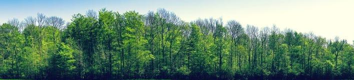 在全景风景的绿色山毛榉树 免版税图库摄影