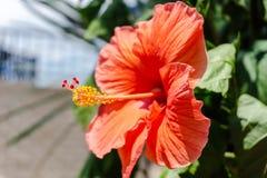 在全绽放的橙色花 免版税库存图片