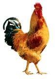 在全长的火公鸡 免版税图库摄影