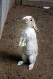 在全长的滑稽的兔宝宝 库存图片