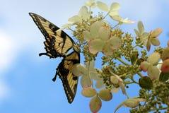 在八仙花属的Swallowtail蝴蝶 免版税库存照片