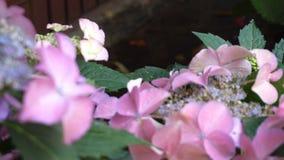 在八仙花属花的蜂授粉 影视素材