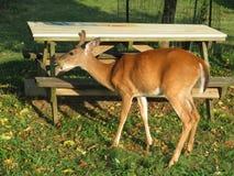 在公园吃苹果计算机的白尾鹿 库存图片