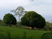 在公园和草原的孪生树 免版税库存照片