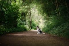 在公园尾随坐道路 服从的澳大利亚牧羊人 免版税库存照片