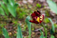 在公园异常的颜色郁金香开了花 瓣在红色、黄色和紫色被绘 免版税库存图片
