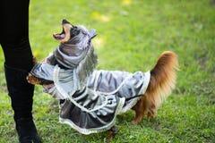 在公园染黑并且晒黑在服装的短发达克斯猎犬 免版税库存照片