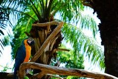 在公园栖息的鹦鹉金刚鹦鹉 免版税库存图片