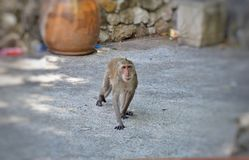 在公园的一只孤独的猴子 免版税库存图片