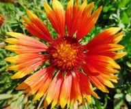 在公园的一朵五颜六色的花 库存照片