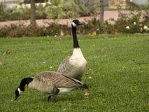 在公园的两只加拿大鹅 图库摄影