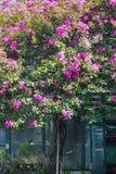 在公园的佐仓树 免版税库存照片