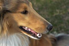 在公园的华美的大牧羊犬! 图库摄影