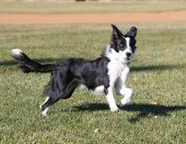 在公园的博德牧羊犬 免版税库存照片