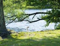 在公园的天鹅 图库摄影