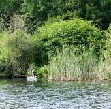 在公园的天鹅 免版税库存照片