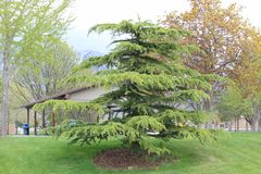 在公园的松树 库存图片