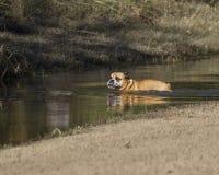 在公园的牛头犬游泳 免版税库存照片