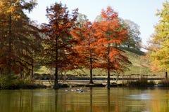 在公园的秋天有gooses游泳的 免版税库存图片