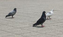 在公园的鸽子 图库摄影