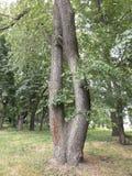 在公园的结构树 免版税图库摄影