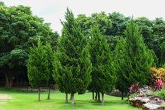 在公园的绿色杉树 免版税库存图片