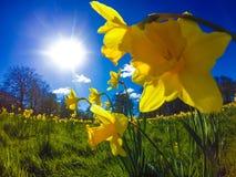 在公园的黄水仙 x 免版税库存照片