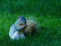 在公园草的东部灰色灰鼠 库存图片