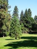 在公园草的杉木 免版税库存照片