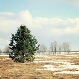 在公园路径晴朗ramenskoye的春天附近的城市日莫斯科 在领域的一棵孤立杉树 免版税库存照片