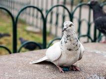 在公园长椅栖息的鸽子 免版税库存照片