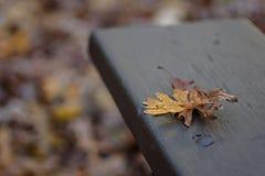 在公园长椅的两片橡木叶子在秋天 库存图片