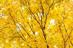 在公园静物画场面的黄色秋天 槭树分支和叶子,天空背景 自然森林的横向 库存照片