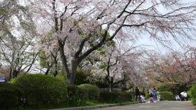 在公园,东京,日本的美丽的开花的白色樱桃树 影视素材