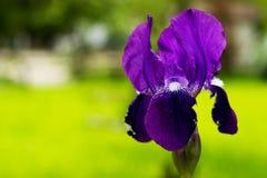 在公园,反对绿草背景,一朵紫色花几乎开了花,叫Iris 库存照片