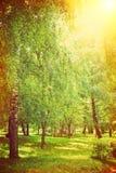 在公园instagram窗框的桦树 免版税库存图片