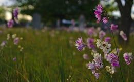 在公墓的狂放的小狂放的紫色白色五颜六色的花 免版税库存照片