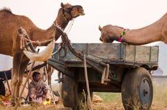 在公平普斯赫卡尔的骆驼,拉贾斯坦,印度的一个游牧人部落男性 免版税库存图片