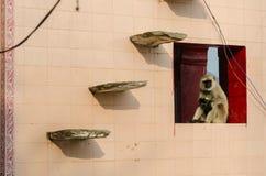 在公平普斯赫卡尔的骆驼,拉贾斯坦,印度的一只猴子 免版税库存照片
