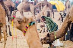 在公平普斯赫卡尔的骆驼,拉贾斯坦,印度的清早活动 库存照片