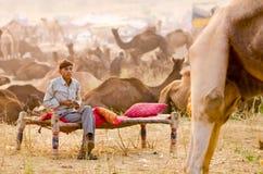 在公平普斯赫卡尔的骆驼,拉贾斯坦,印度的清早活动 图库摄影