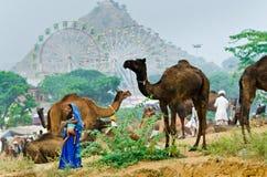 在公平普斯赫卡尔的骆驼,拉贾斯坦,印度的美好的风景 免版税库存照片