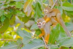 在公开动物园的松鼠猴子 免版税库存照片
